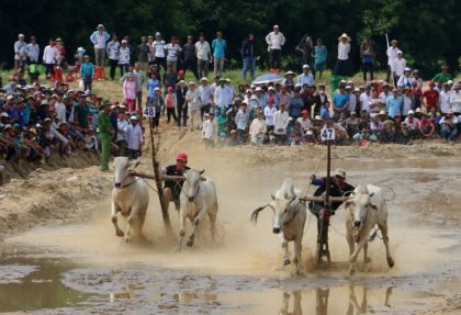 an giang cow racing festival